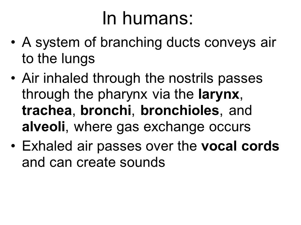 In humans: A system of branching ducts conveys air to the lungs Air inhaled through the nostrils passes through the pharynx via the larynx, trachea, bronchi, bronchioles, and alveoli, where gas exchange occurs Exhaled air passes over the vocal cords and can create sounds