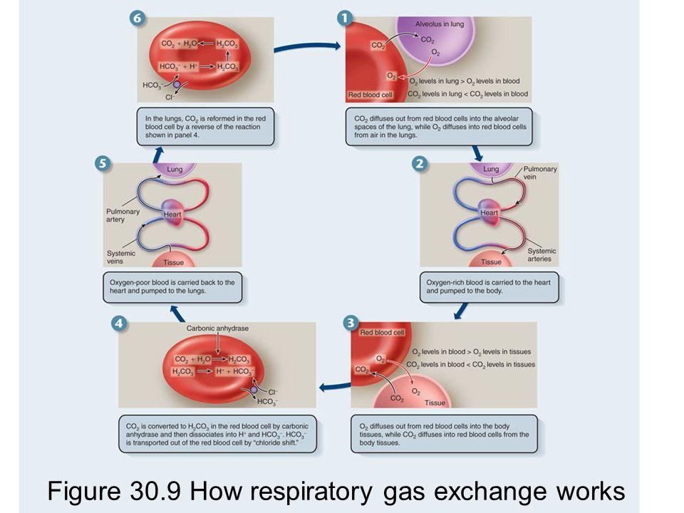 Figure 30.9 How respiratory gas exchange works