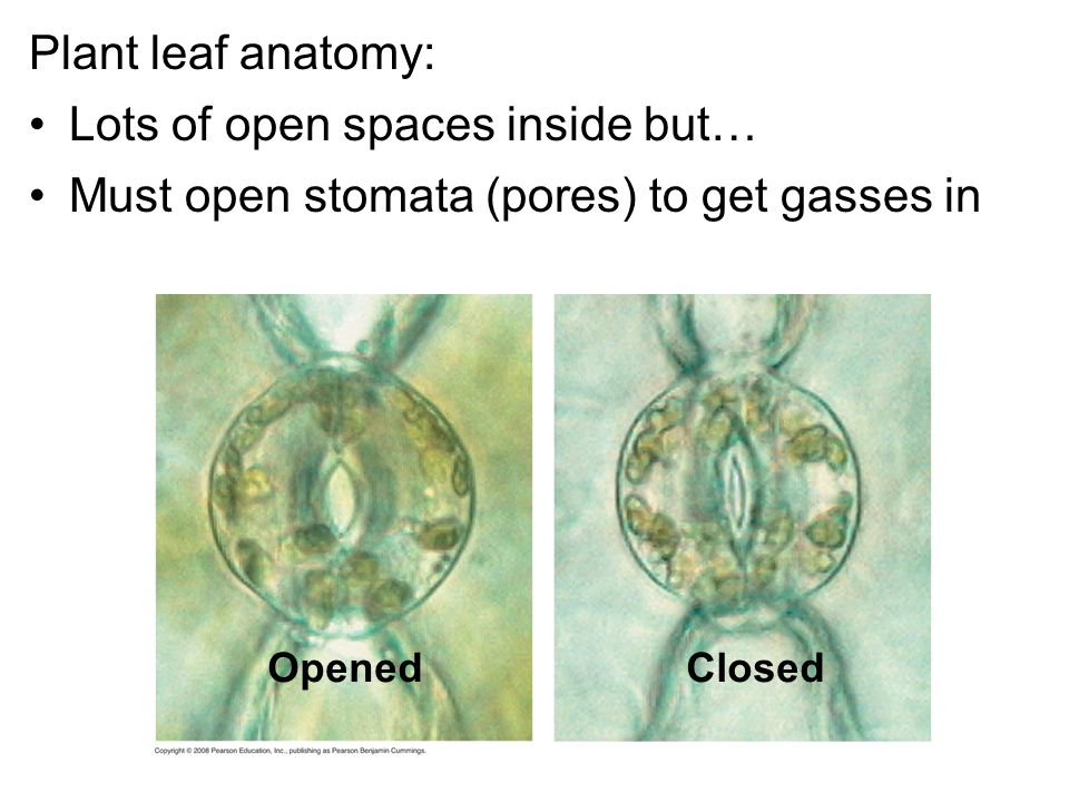 Plant leaf anatomy: Lots of open spaces inside but… Must open stomata (pores) to get gasses in OpenedClosed
