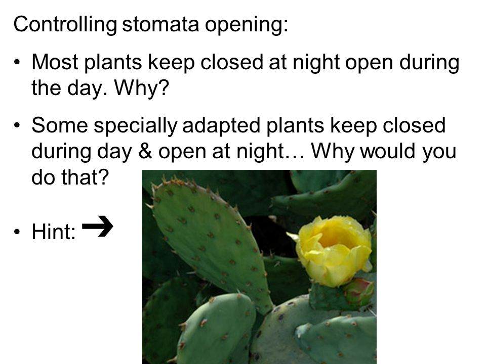Controlling stomata opening: Most plants keep closed at night open during the day.