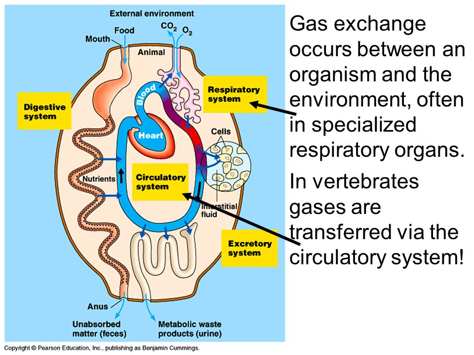 Gas exchange occurs between an organism and the environment, often in specialized respiratory organs.
