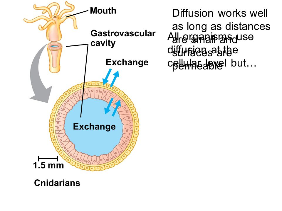 Fig. 40-3 Exchange (a) Single cell 1.5 mm Cnidarians Exchange Mouth Gastrovascular cavity Diffusion works well as long as distances are small and surf