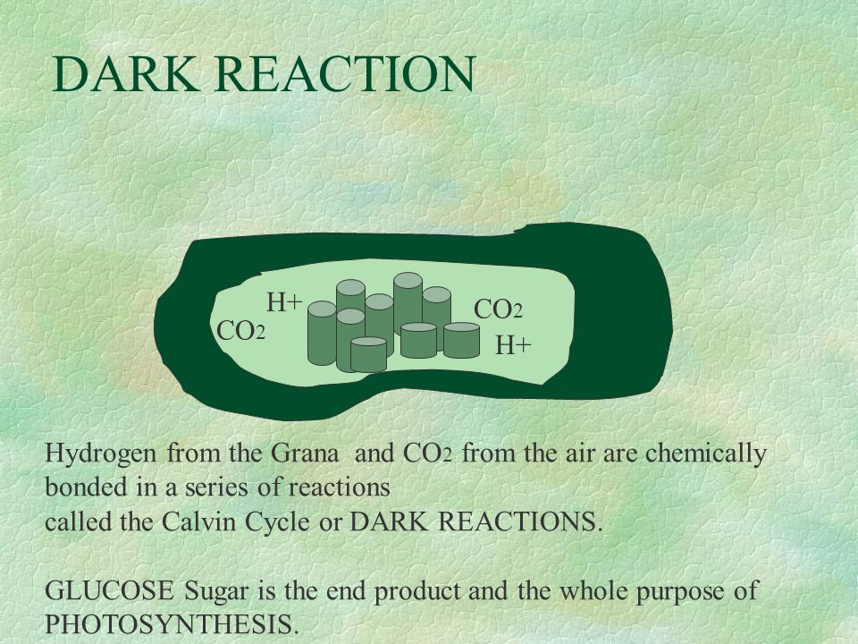 DARK REACTION CO 2 H+ Hydrogen from the Grana and CO 2 from the air are chemically bonded in a series of reactions called the Calvin Cycle or DARK REACTIONS.