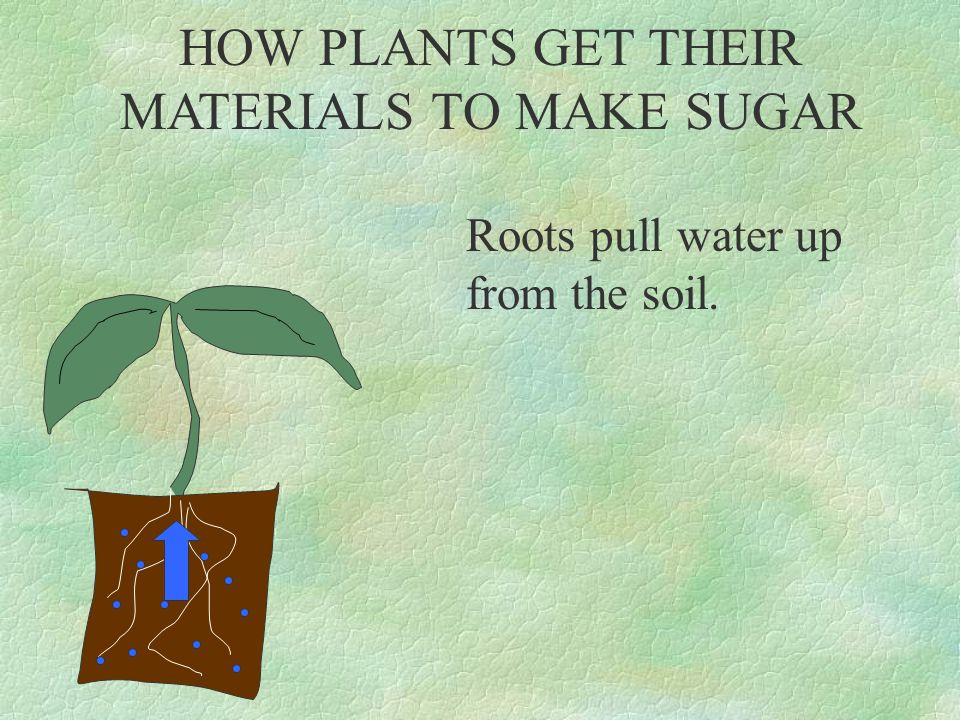 HOW PLANTS GET THEIR MATERIALS TO MAKE SUGAR Sunlight hits the leaves and a green pigment called CHLOROPHYLL traps the light's energy.