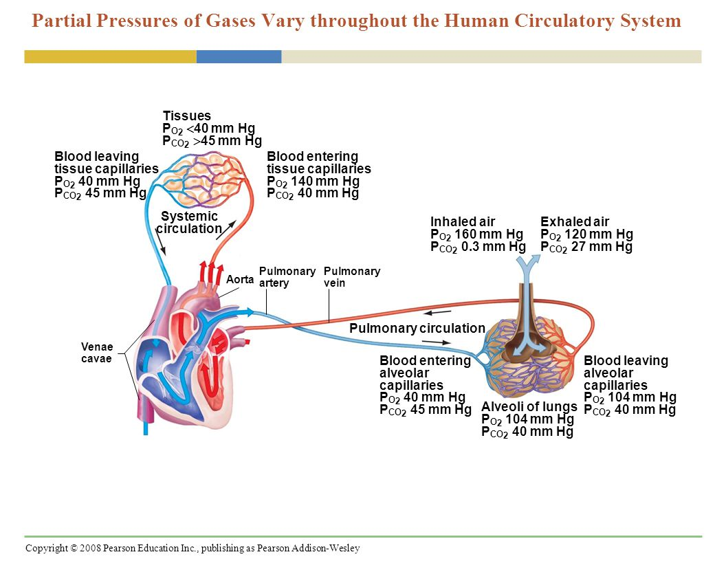 Copyright © 2008 Pearson Education Inc., publishing as Pearson Addison-Wesley Partial Pressures of Gases Vary throughout the Human Circulatory System Pulmonary circulation Systemic circulation Venae cavae Pulmonary artery Aorta Blood leaving tissue capillaries P O 2 40 mm Hg P CO 2 45 mm Hg Pulmonary vein Tissues P O 2  40 mm Hg P CO 2  45 mm Hg Blood entering tissue capillaries P O 2 140 mm Hg P CO 2 40 mm Hg Inhaled air P O 2 160 mm Hg P CO 2 0.3 mm Hg Exhaled air P O 2 120 mm Hg P CO 2 27 mm Hg Blood entering alveolar capillaries P O 2 40 mm Hg P CO 2 45 mm Hg Blood leaving alveolar capillaries P O 2 104 mm Hg P CO 2 40 mm Hg Alveoli of lungs P O 2 104 mm Hg P CO 2 40 mm Hg