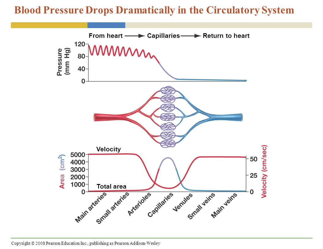 Copyright © 2008 Pearson Education Inc., publishing as Pearson Addison-Wesley Patterns in Blood Pressure and Blood Flow When baroreceptors detect a major decrease in blood pressure, they trigger electrical signals that change the heart's output and vessel diameter: (1)Cardiac output is increased by an increase in both heart rate and the amount of blood pushed out by the ventricles.