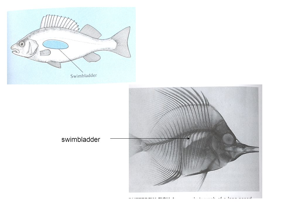 swimbladder
