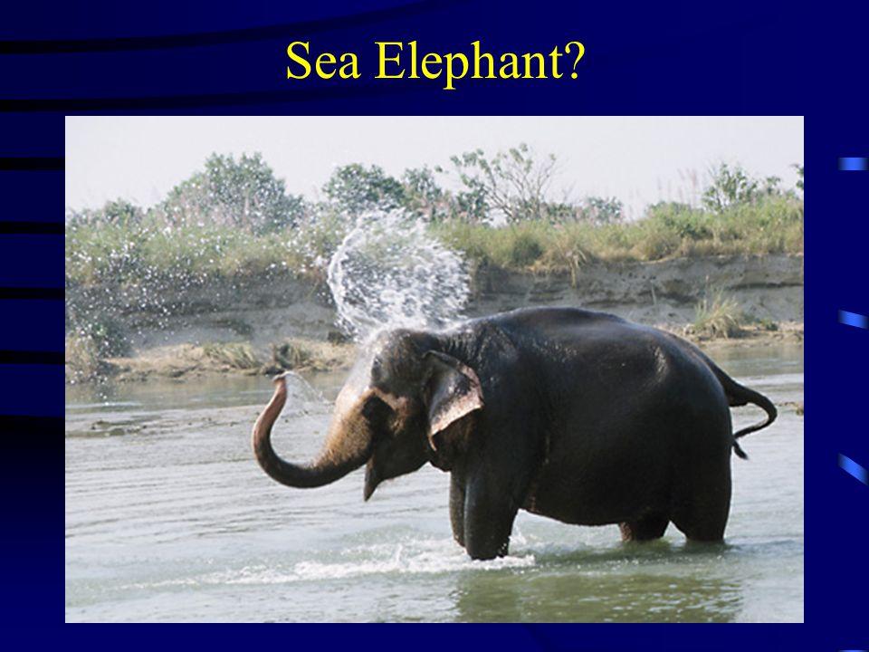 Sea Elephant?