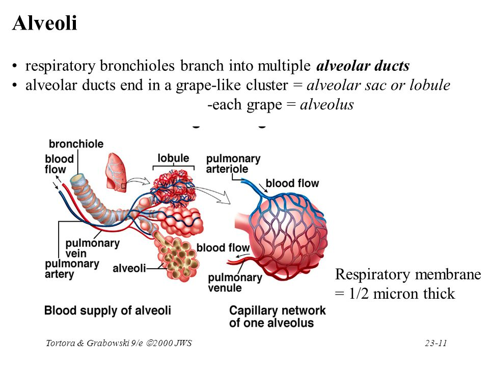 Tortora & Grabowski 9/e  2000 JWS 23-11 Alveoli respiratory bronchioles branch into multiple alveolar ducts alveolar ducts end in a grape-like cluste