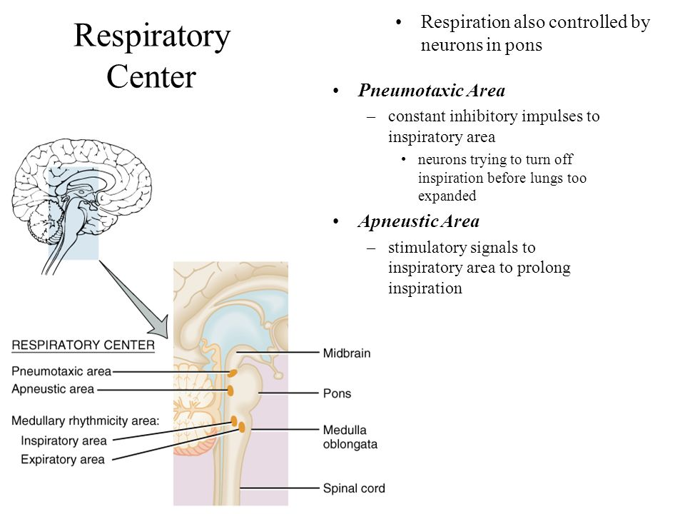 Respiratory Center Respiration also controlled by neurons in pons Pneumotaxic Area –constant inhibitory impulses to inspiratory area neurons trying to