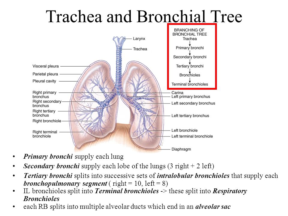 Trachea and Bronchial Tree Primary bronchi supply each lung Secondary bronchi supply each lobe of the lungs (3 right + 2 left) Tertiary bronchi splits