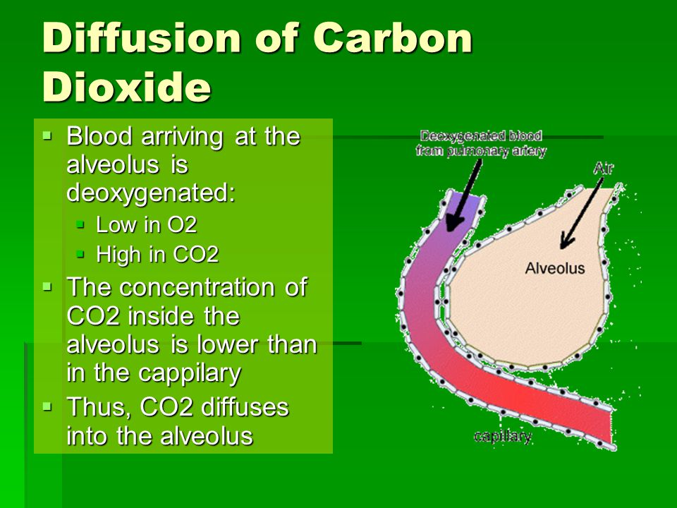 Diffusion of Carbon Dioxide  Blood arriving at the alveolus is deoxygenated:  Low in O2  High in CO2  The concentration of CO2 inside the alveolus