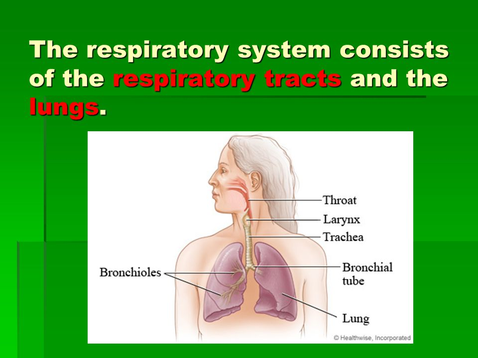 The respiratory system consists of the respiratory tracts and the lungs.