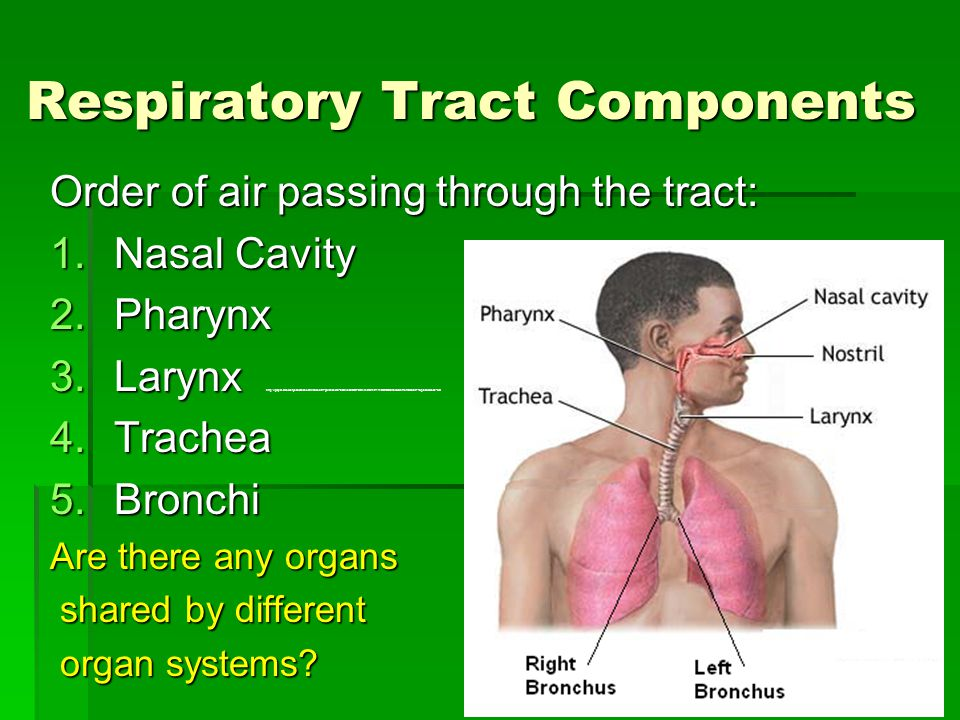 Respiratory Tract Components Order of air passing through the tract: 1.Nasal Cavity 2.Pharynx 3.Larynx 3.Larynx http://player.discoveryeducation.com/index.cfm?guidAssetId=50EA330C-DFE3-4443-B142-111DD7DB0764&blnFromSearch=1&productcode=US 4.Trachea 5.Bronchi Are there any organs shared by different shared by different organ systems.