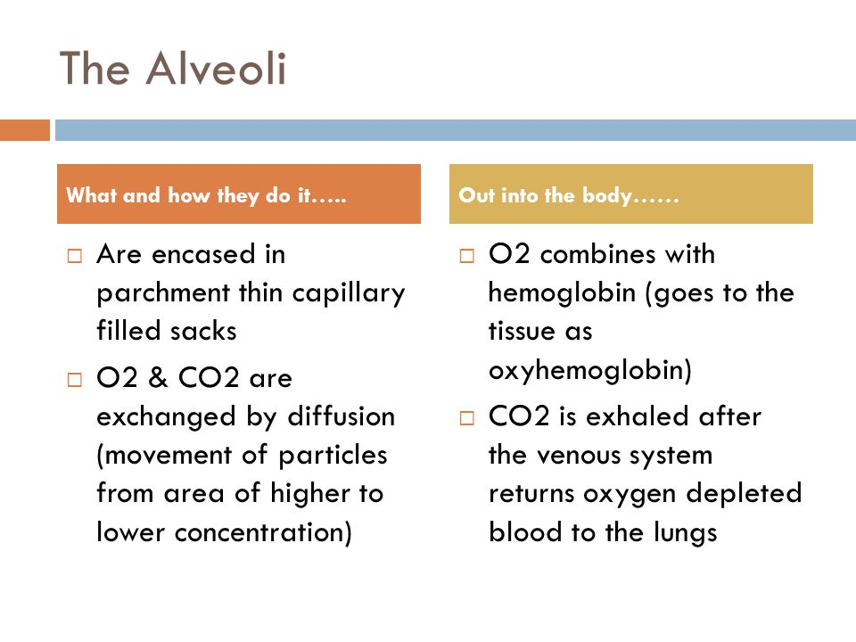 The Alveoli  Are encased in parchment thin capillary filled sacks  O2 & CO2 are exchanged by diffusion (movement of particles from area of higher to lower concentration)  O2 combines with hemoglobin (goes to the tissue as oxyhemoglobin)  CO2 is exhaled after the venous system returns oxygen depleted blood to the lungs What and how they do it…..Out into the body……