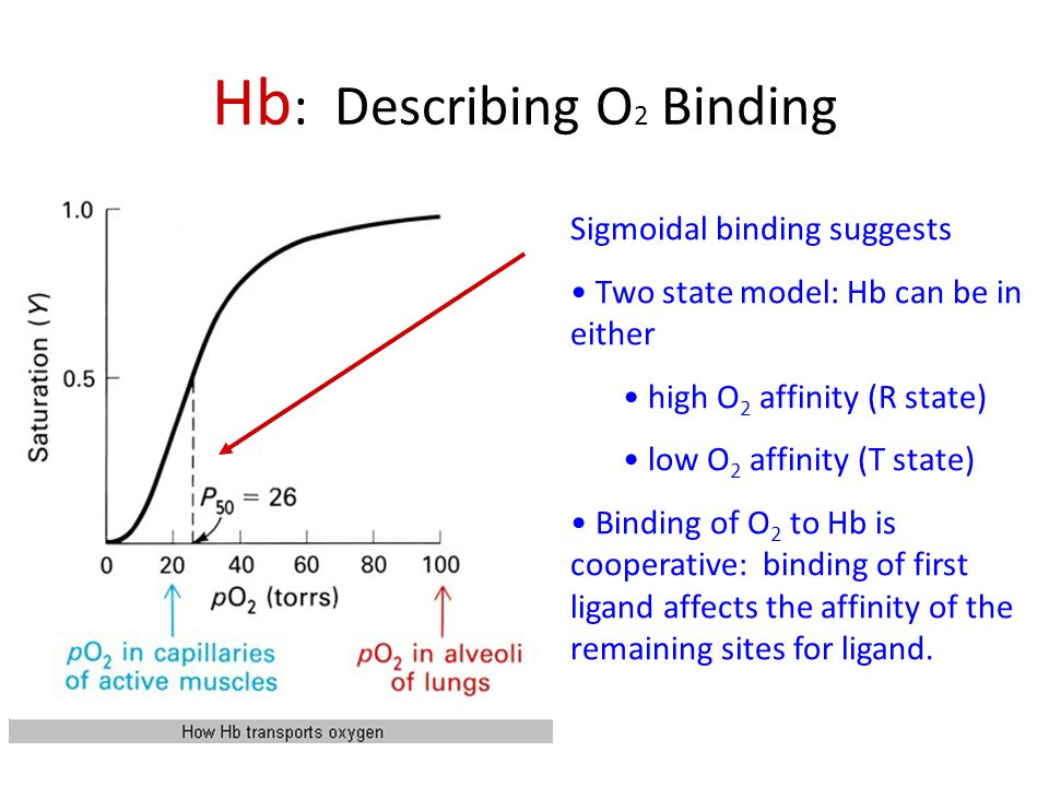 Hb : Describing O 2 Binding Sigmoidal binding suggests Two state model: Hb can be in either high O 2 affinity (R state) low O 2 affinity (T state) Binding of O 2 to Hb is cooperative: binding of first ligand affects the affinity of the remaining sites for ligand.