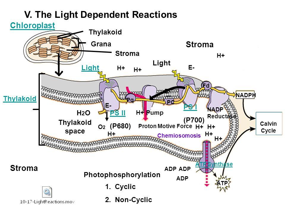 V. The Light Dependent Reactions Light Stroma Thylakoid space Thylakoid Chloroplast Grana Thylakoid Stroma PS II (P680) PS I (P700) H2OH2O O2O2 H+ ATP