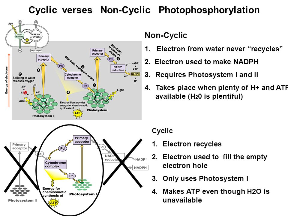 Cyclic verses Non-Cyclic Photophosphorylation Non-Cyclic 1.