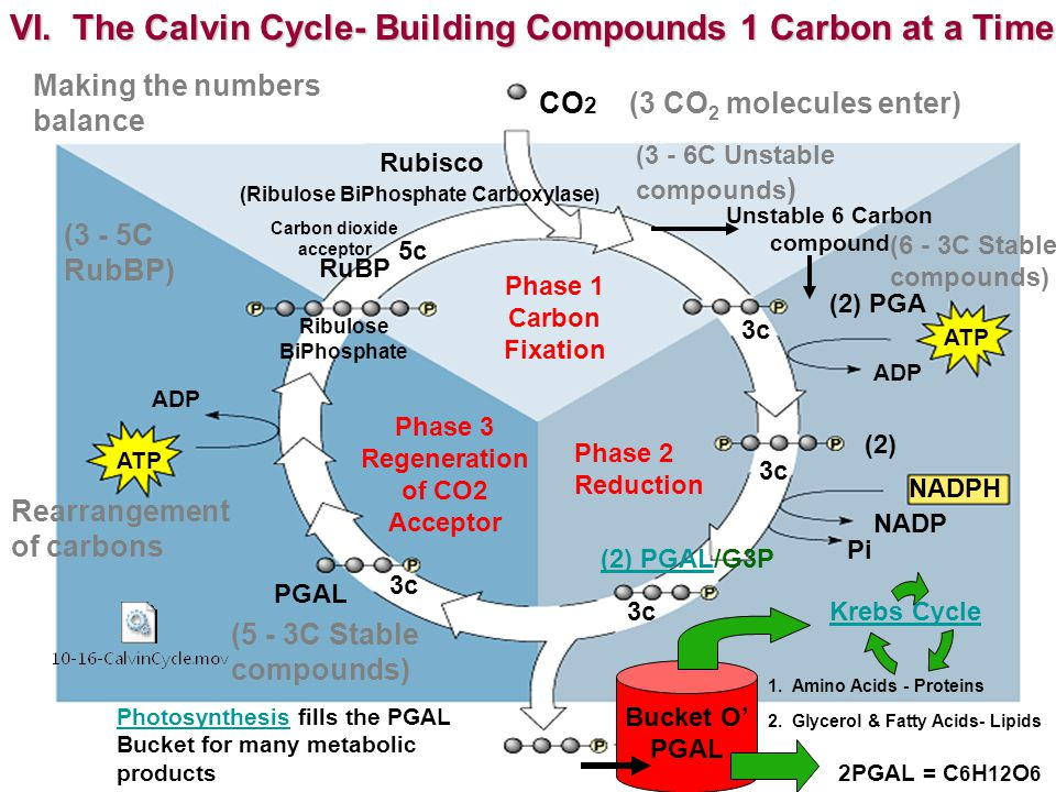 VI. The Calvin Cycle- Building Compounds 1 Carbon at a Time CO 2 Rubisco Phase 1 Carbon Fixation RuBP Unstable 6 Carbon compound (2) PGA (2) Bucket O'