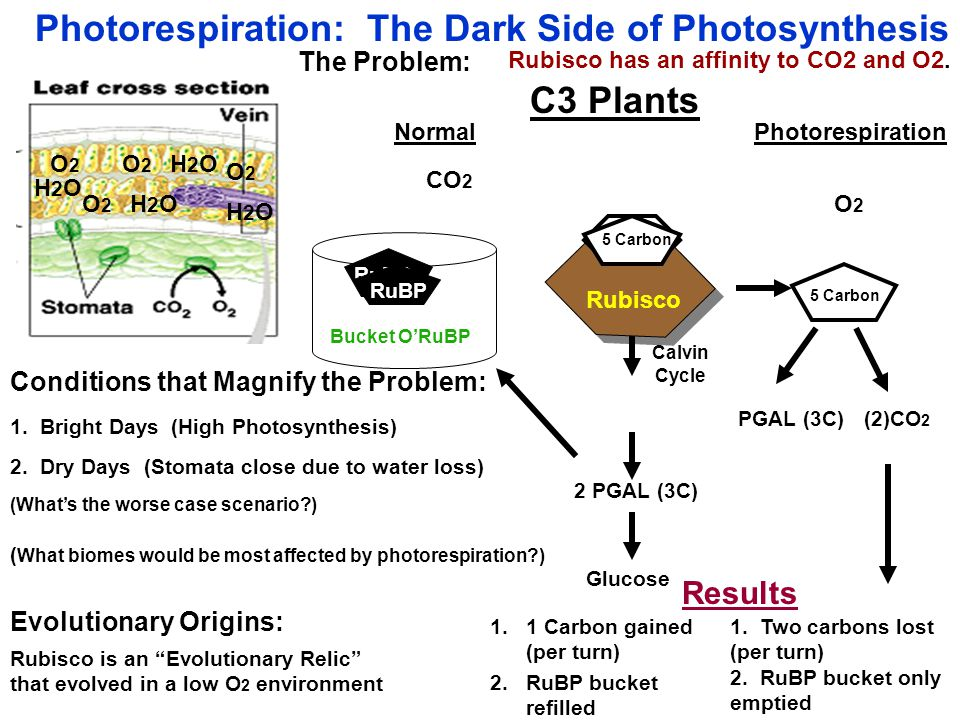 Photorespiration: The Dark Side of Photosynthesis The Problem: Rubisco CO 2 Calvin Cycle 2 PGAL (3C) O2O2 PGAL (3C) (2)CO 2 6 Carbon Results 1.1 Carbon gained (per turn) 1.