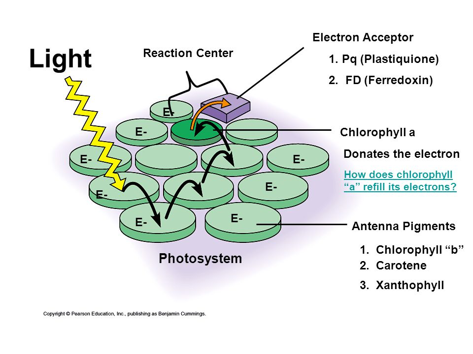 E- Electron Acceptor 1. Pq (Plastiquione) 2. FD (Ferredoxin) Light Antenna Pigments Chlorophyll a Donates the electron Photosystem E- How does chlorop