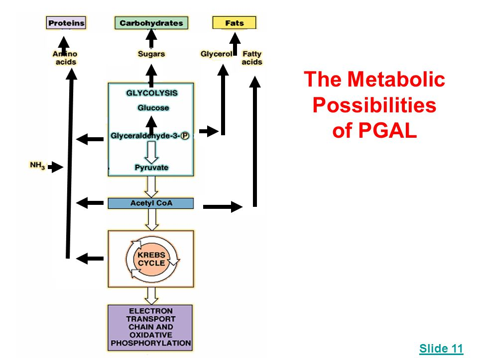 The Metabolic Possibilities of PGAL Slide 11