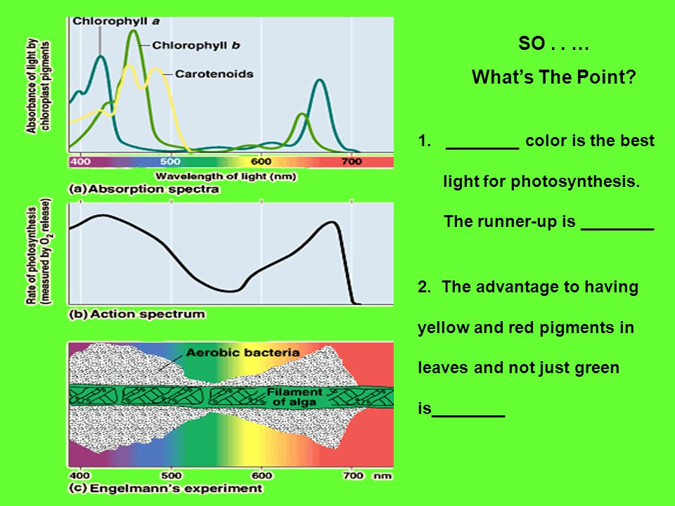 SO.. … What's The Point. 1. ________ color is the best light for photosynthesis.