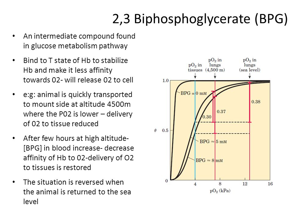 2,3 Biphosphoglycerate (BPG) An intermediate compound found in glucose metabolism pathway Bind to T state of Hb to stabilize Hb and make it less affin