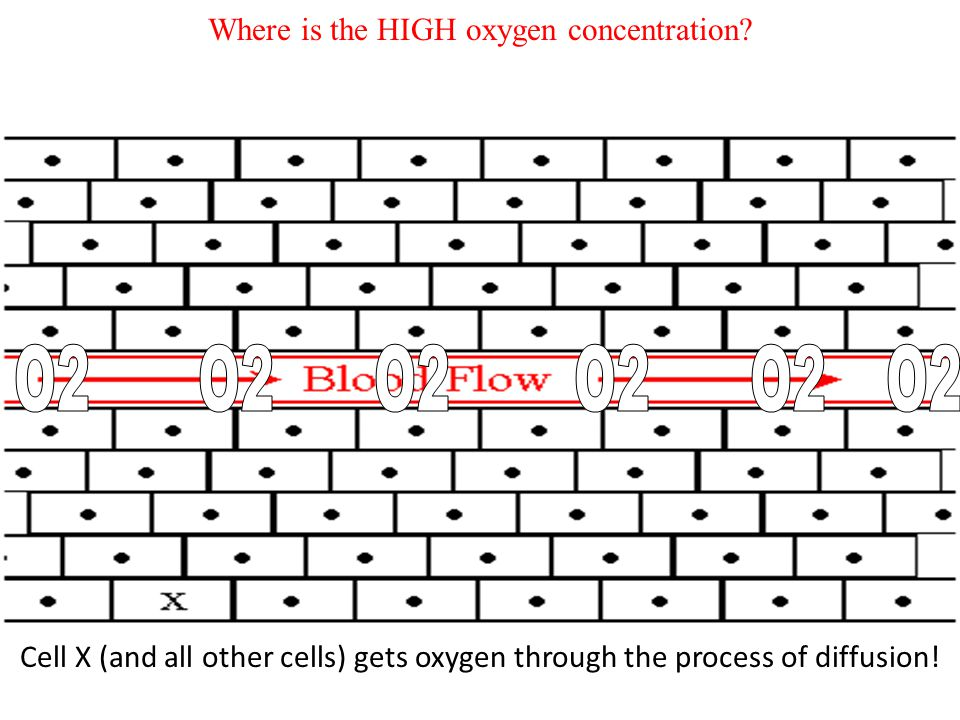 Cell X needs oxygen just like all cells. But cell X is not in direct contact with the blood and oxygen. So how does cell X get oxygen?