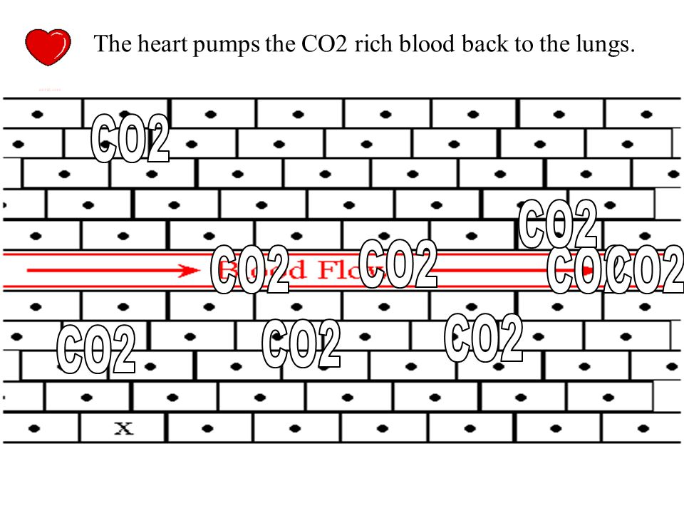 Where is the HIGH carbon dioxide concentration? CO2 diffuses from the cells (high concentration) and into the blood stream (low concentration)