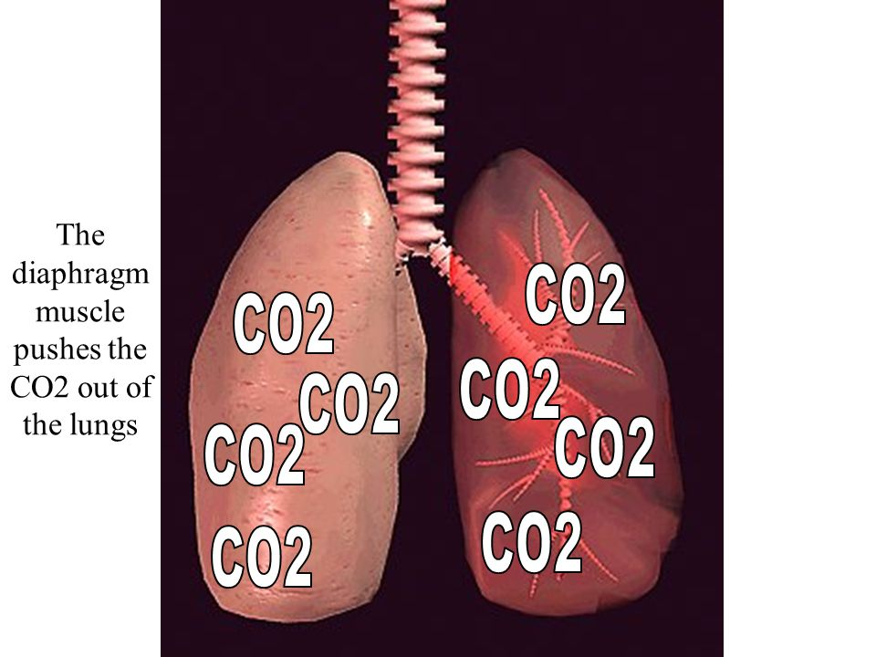 Where is the HIGH carbon dioxide concentration? CO2 diffuses into the air sacs (alveoli)