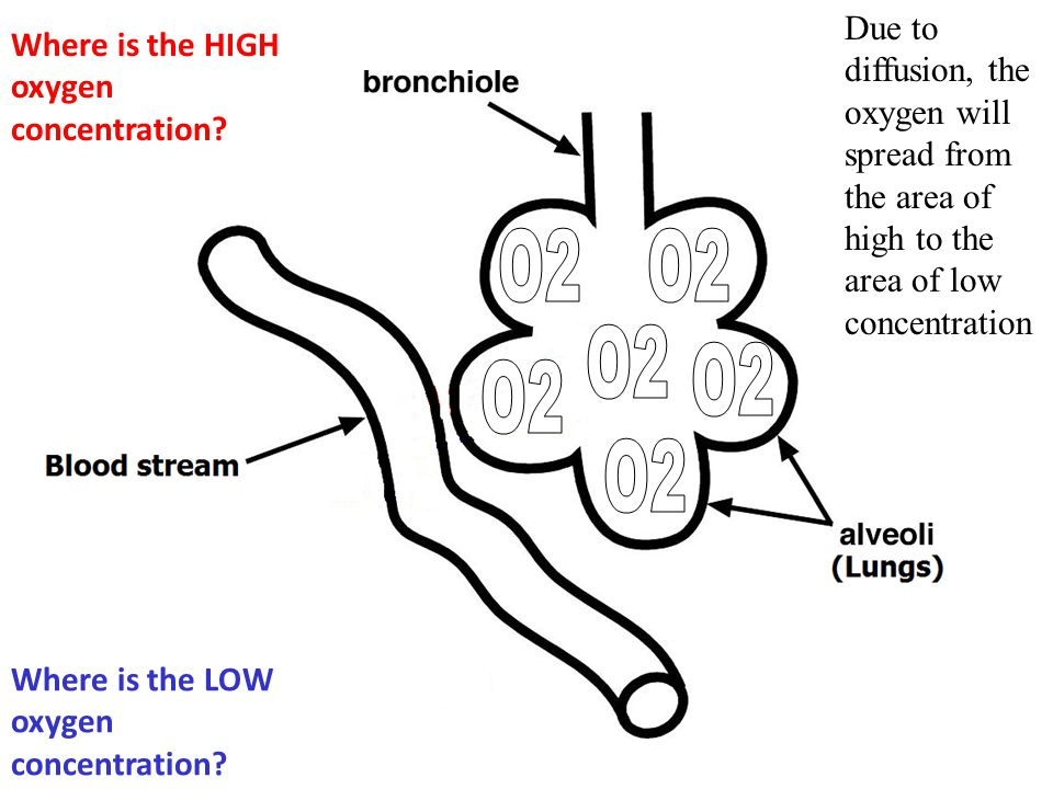 The diaphragm muscle pushes the CO2 out of the lungs
