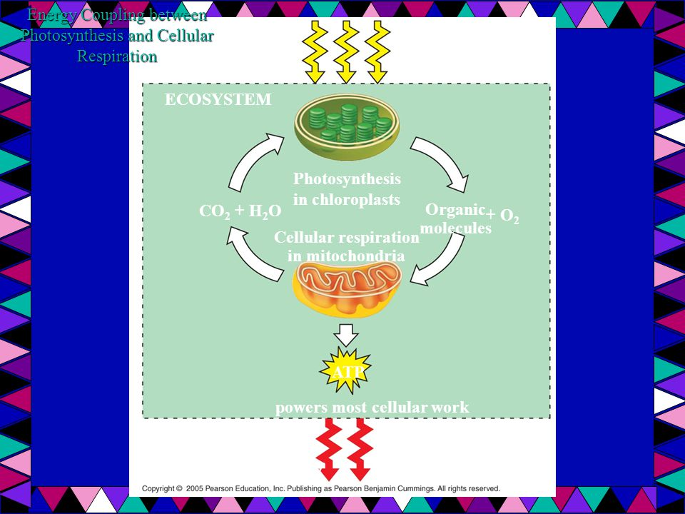 Energy Coupling between Photosynthesis and Cellular Respiration ECOSYSTEM Light energy Photosynthesis in chloroplasts Cellular respiration in mitochondria Organic molecules + O 2 CO 2 + H 2 O ATP powers most cellular work Heat energy