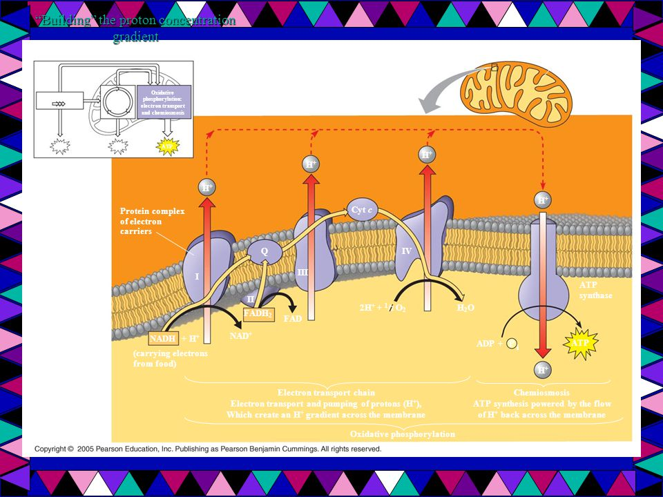 Building the proton concentration gradient Protein complex of electron carriers H+H+ ATP Glycolysis Oxidative phosphorylation: electron transport and chemiosmosis Citric acid cycle H+H+ Q III I II FAD FADH 2 + H + NADH NAD + (carrying electrons from food) Inner mitochondrial membrane Inner mitochondrial membrane Mitochondrial matrix Intermembrane space H+H+ H+H+ Cyt c IV 2H + + 1 / 2 O 2 H2OH2O ADP + H+H+ ATP synthase Electron transport chain Electron transport and pumping of protons (H + ), Which create an H + gradient across the membrane P i Chemiosmosis ATP synthesis powered by the flow of H + back across the membrane Oxidative phosphorylation