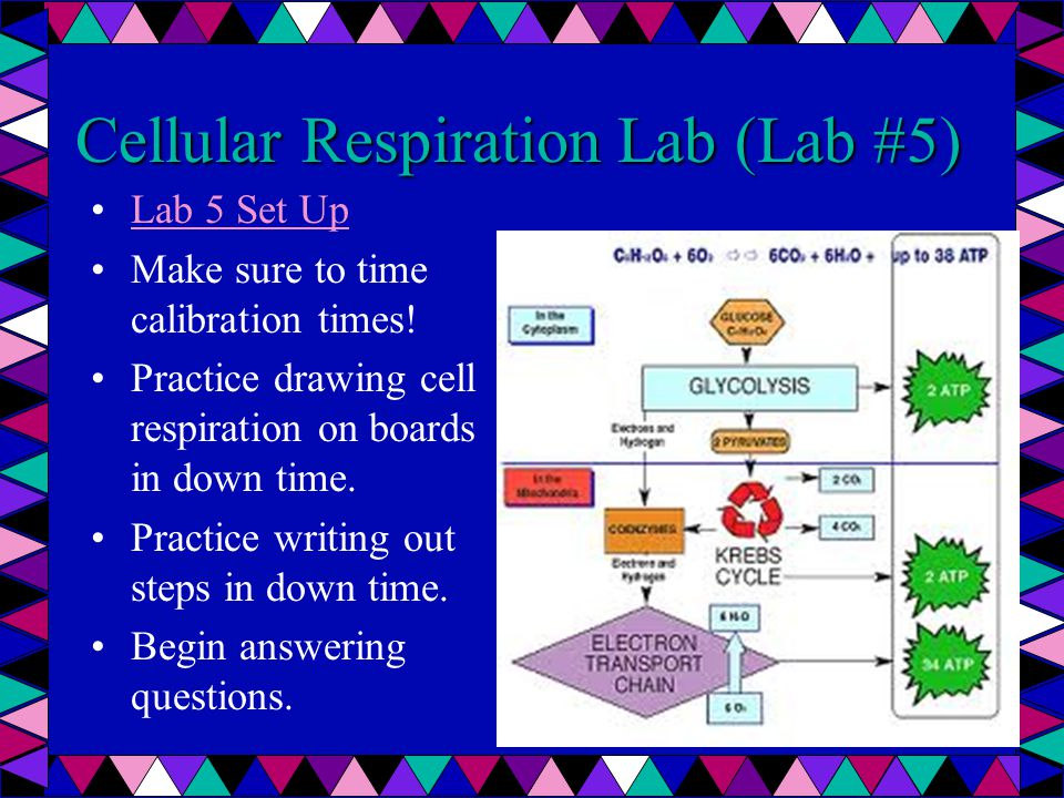Cellular Respiration Lab (Lab #5) Lab 5 Set Up Make sure to time calibration times.