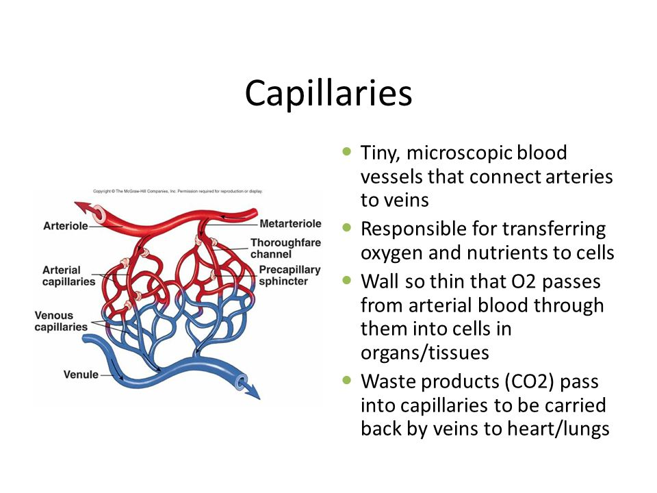 Capillaries Tiny, microscopic blood vessels that connect arteries to veins Responsible for transferring oxygen and nutrients to cells Wall so thin that O2 passes from arterial blood through them into cells in organs/tissues Waste products (CO2) pass into capillaries to be carried back by veins to heart/lungs