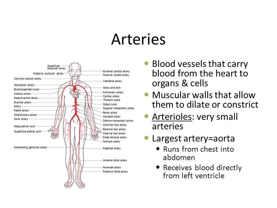 Arteries Blood vessels that carry blood from the heart to organs & cells Muscular walls that allow them to dilate or constrict Arterioles: very small arteries Largest artery=aorta Runs from chest into abdomen Receives blood directly from left ventricle
