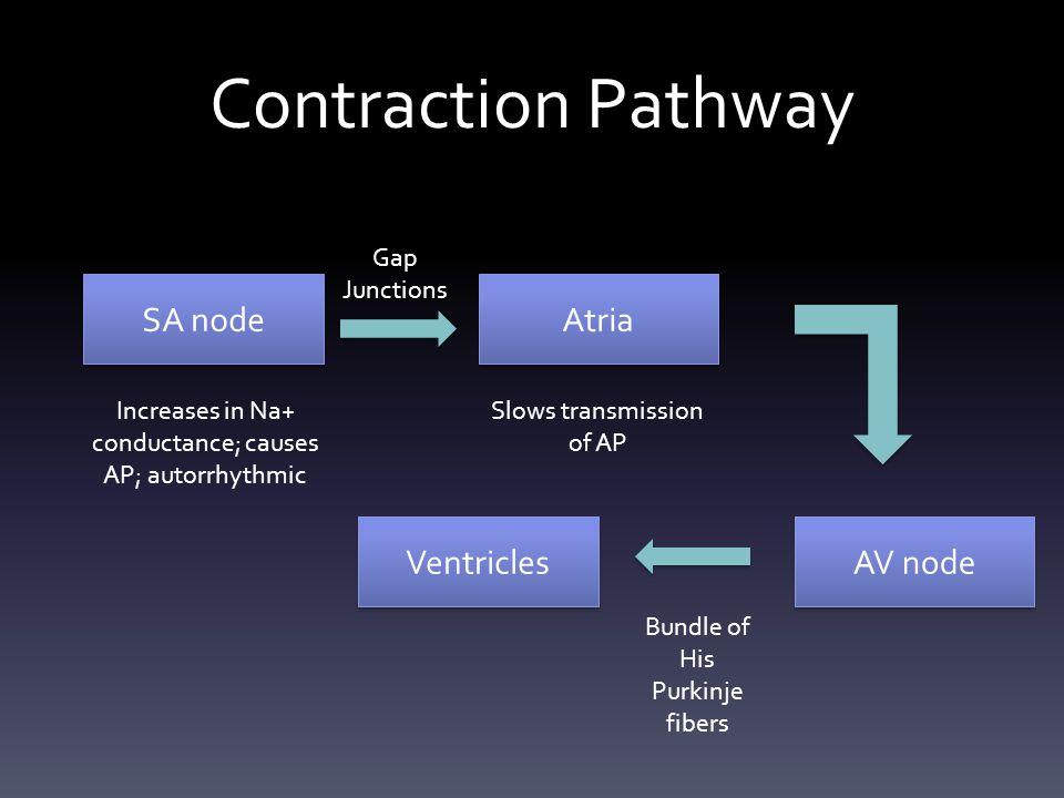 Contraction Pathway SA node Atria AV node Ventricles Gap Junctions Slows transmission of AP Increases in Na+ conductance; causes AP; autorrhythmic Bun