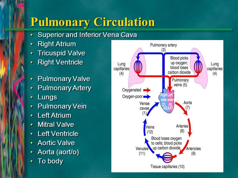 Pulmonary Circulation Superior and Inferior Vena Cava Right Atrium Tricuspid Valve Right Ventricle Pulmonary Valve Pulmonary Artery Lungs Pulmonary Ve