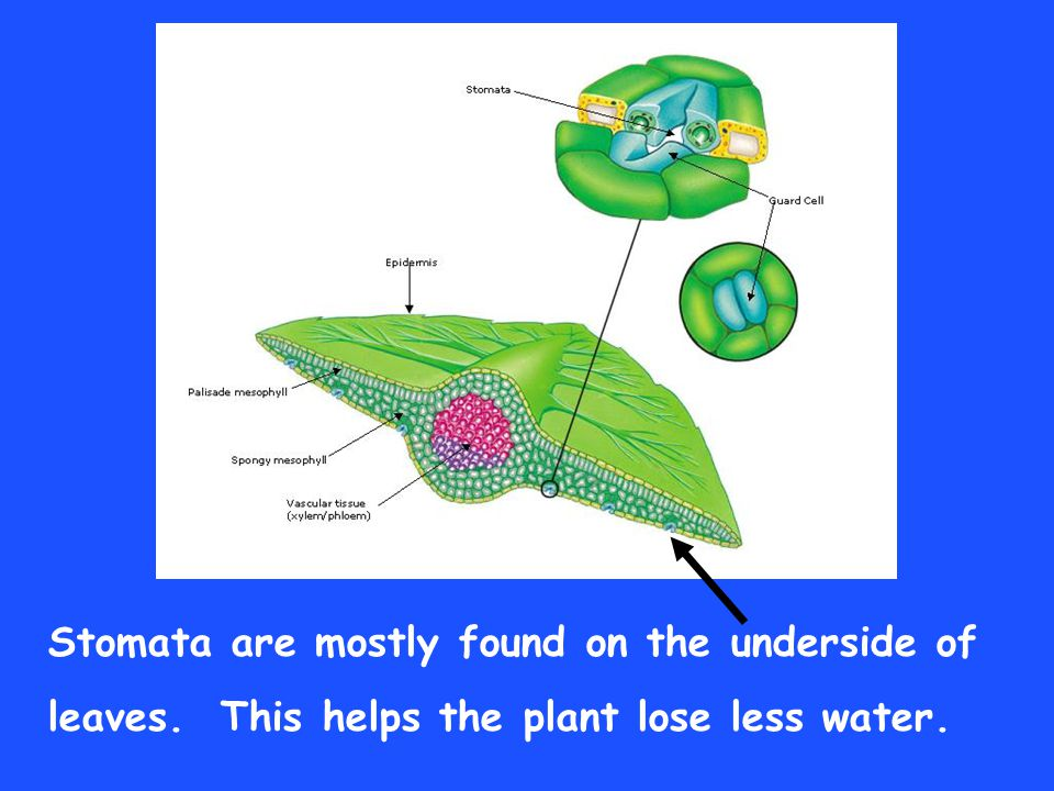 Stomata are mostly found on the underside of leaves. This helps the plant lose less water.