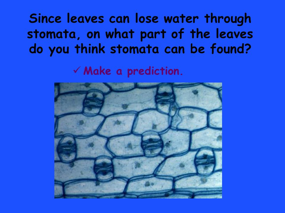 Since leaves can lose water through stomata, on what part of the leaves do you think stomata can be found? Make a prediction.
