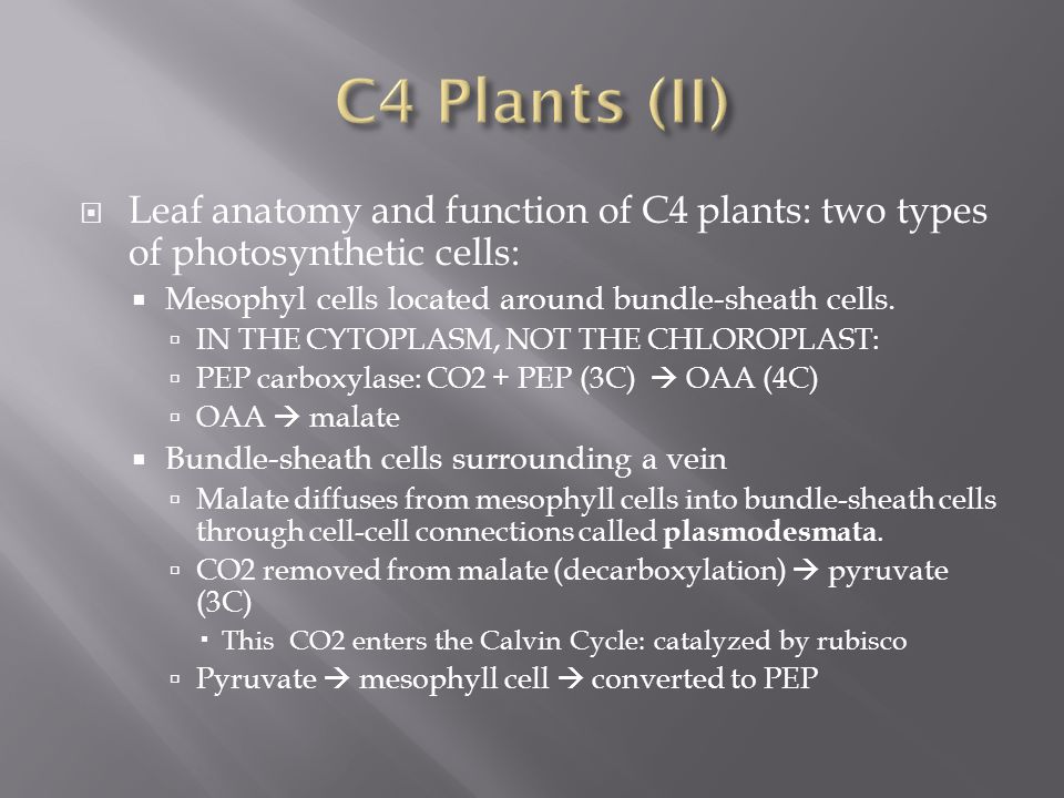  Leaf anatomy and function of C4 plants: two types of photosynthetic cells:  Mesophyl cells located around bundle-sheath cells.