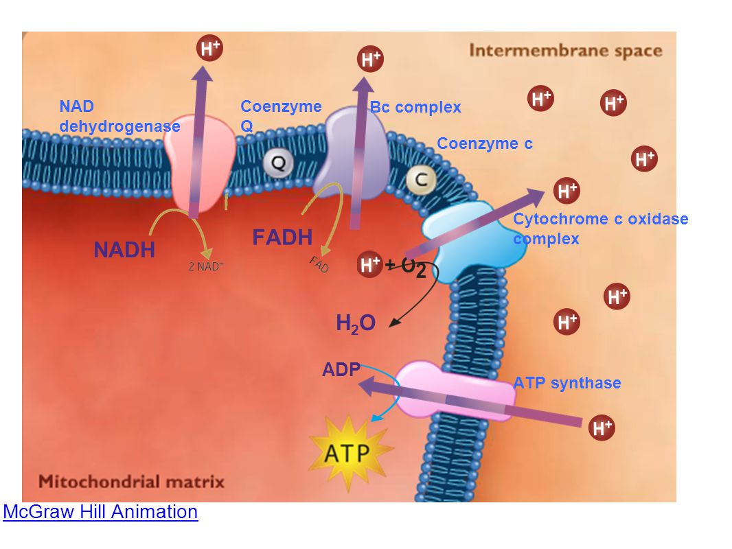 McGraw Hill Animation NAD dehydrogenase Coenzyme Q Coenzyme c Bc complex Cytochrome c oxidase complex ATP synthase FADH NADH H2OH2O ADP