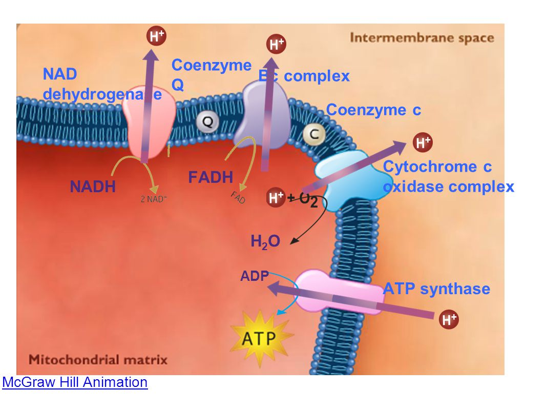 -net yield of 32 or 34 ATP per glucose molecule - 6 H 2 O are formed when the electrons unite with O 2 * at the end of electron transport chain.