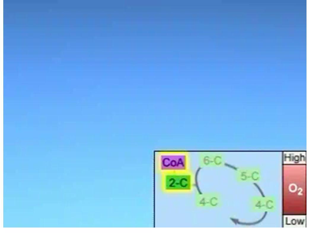 1 2 6net 5 2 3 2 8NADH Cellular Respiration Summary 4 9 10 2 7net 34 11 - Each NADH produces 3 ATP - Each FADH 2 produces 2 ATP