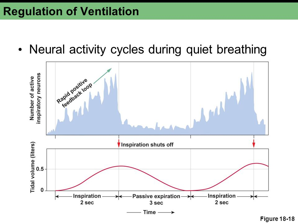 Regulation of Ventilation Neural activity cycles during quiet breathing Figure 18-18