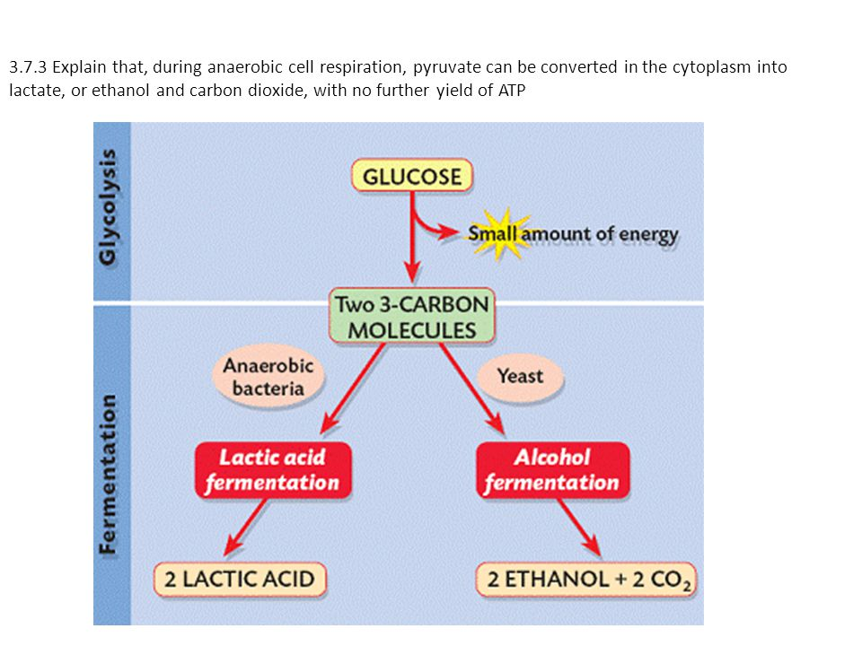 3.7.3 Explain that, during anaerobic cell respiration, pyruvate can be converted in the cytoplasm into lactate, or ethanol and carbon dioxide, with no