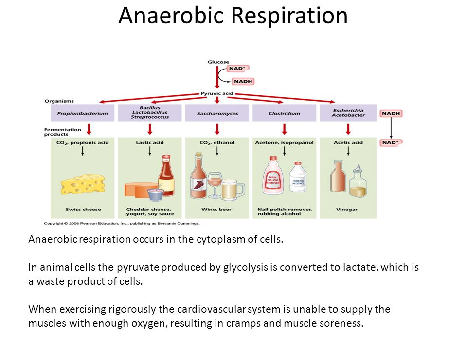 Anaerobic Respiration Anaerobic respiration occurs in the cytoplasm of cells. In animal cells the pyruvate produced by glycolysis is converted to lact