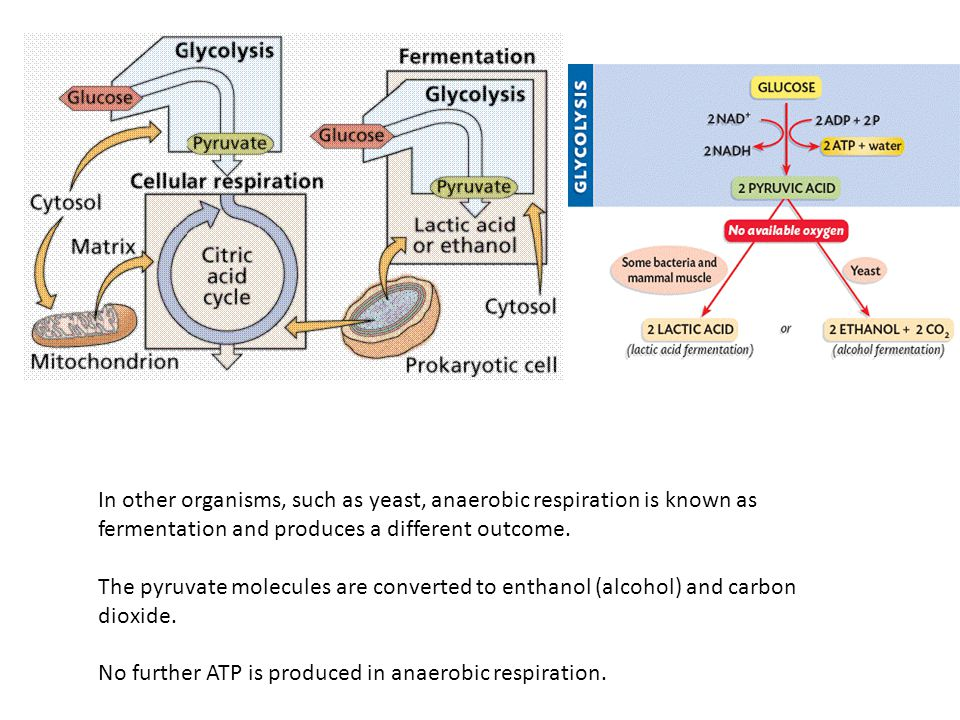 In other organisms, such as yeast, anaerobic respiration is known as fermentation and produces a different outcome. The pyruvate molecules are convert
