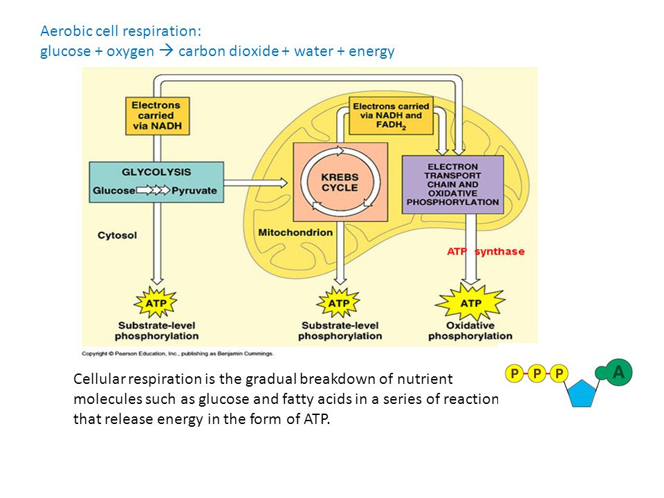Aerobic cell respiration: glucose + oxygen  carbon dioxide + water + energy Cellular respiration is the gradual breakdown of nutrient molecules such